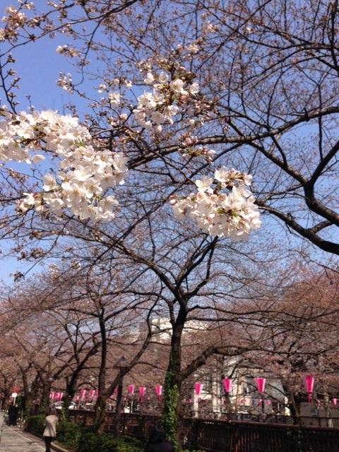 今日、3/28の目黒川の桜。